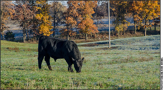 Young bull on pasture